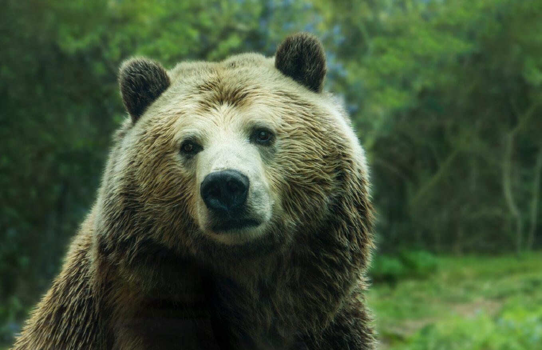 bear mauls person taking selfie