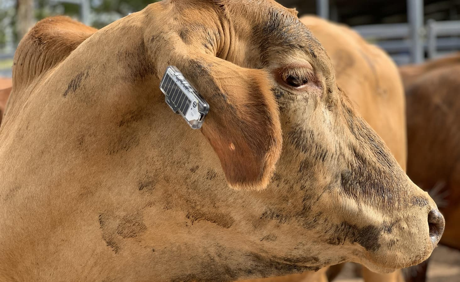 cows wearable for tracking and movement
