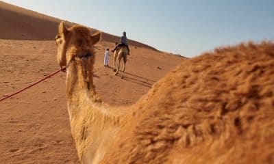 view from a camel showing sand dunes in a desert