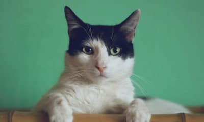 black and white cat staring at the camera