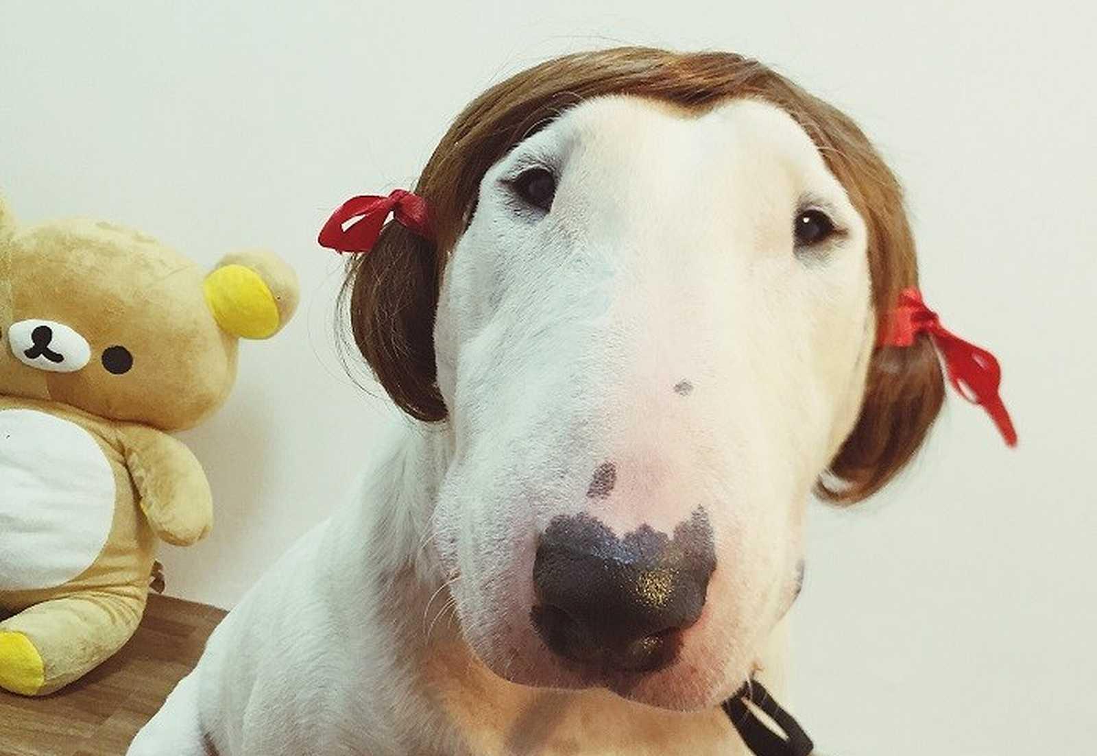 a dog wearing a wig